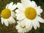Daisy Heads by Tumbledyer
