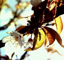 Sunny bloom by oliflys