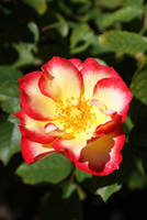 Summer Rose I by Nightwatchman111