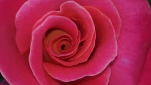 pink rose - photo