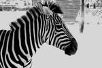 zebra by borntosparkle