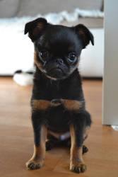 Little puppy Sirius Prime