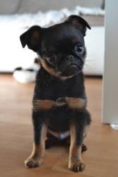 Little puppy Sirius Prime - petit brabancon by Amitielik