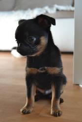 Little puppy Sirius Prime - petit brabancon