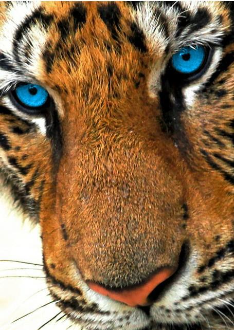 Tiger by Vixa1