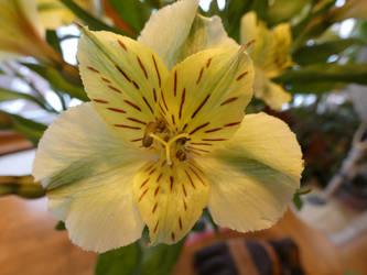 Alstroemeria ~ Lily of the Incas by SirWongIII