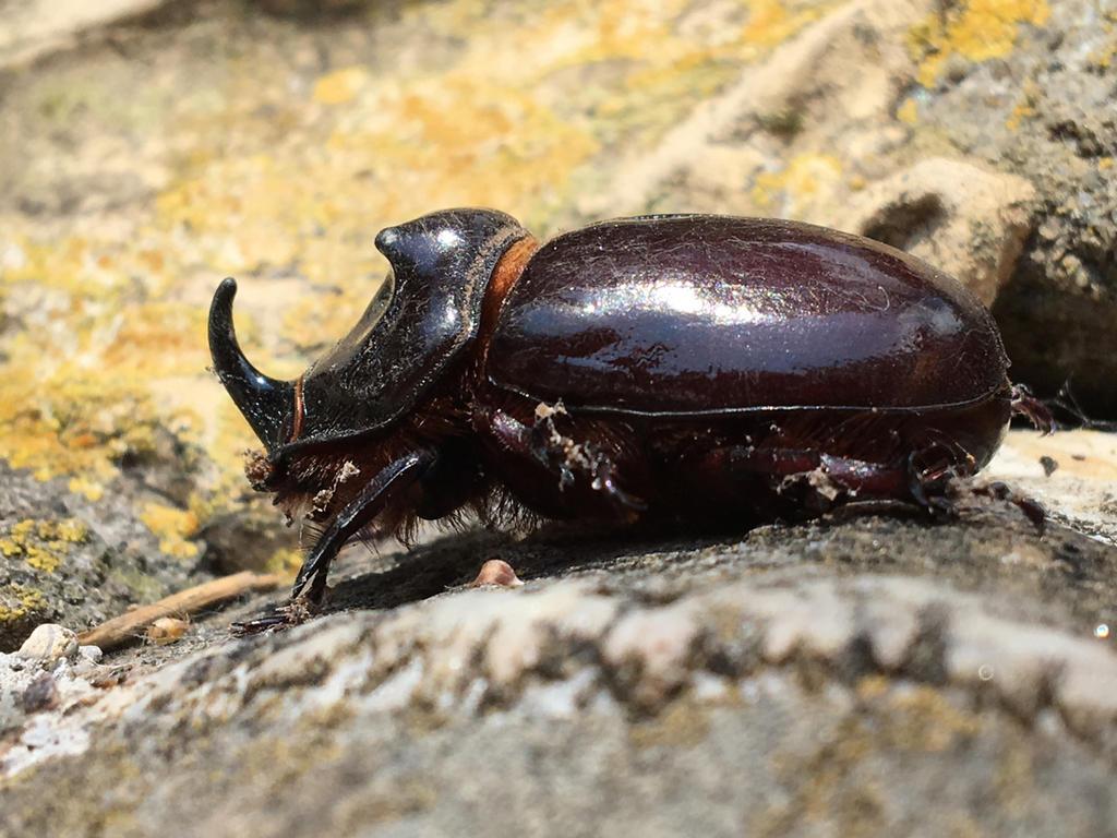 european_rhinoceros_beetle_by_tatersw-db