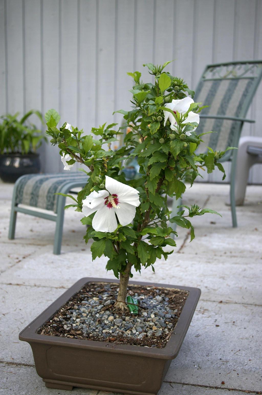 Hibiscus Bonsai By Deaconstrucktor On Deviantart