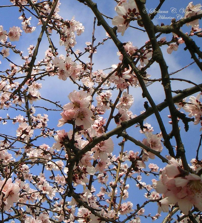 Flori de piersic 2 by HikarinoChou