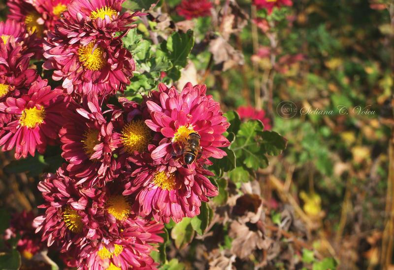 Chrysanthemums by HikarinoChou