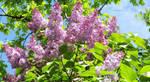 Lilac Sky by HikarinoChou