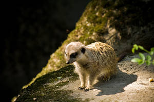 Little Meerkat by 6rimR3ap3r