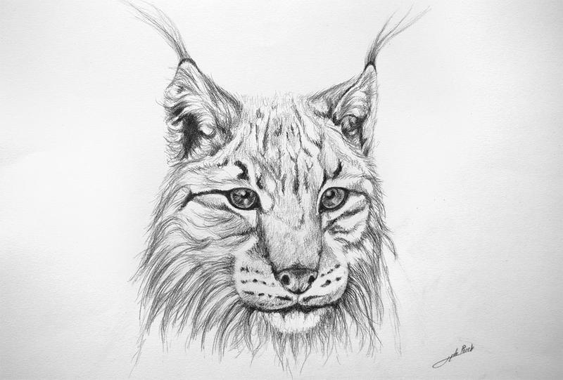 Dessin Lynx by jibudp on DeviantArt