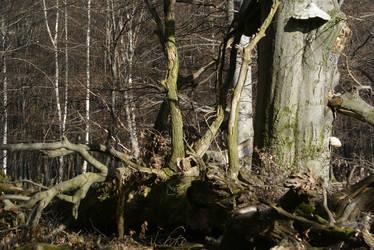 Beech tree nationalpark by Bildermacher