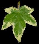 Ivy leaf front texture