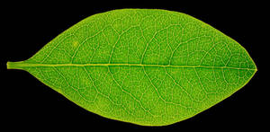High res leaf texture