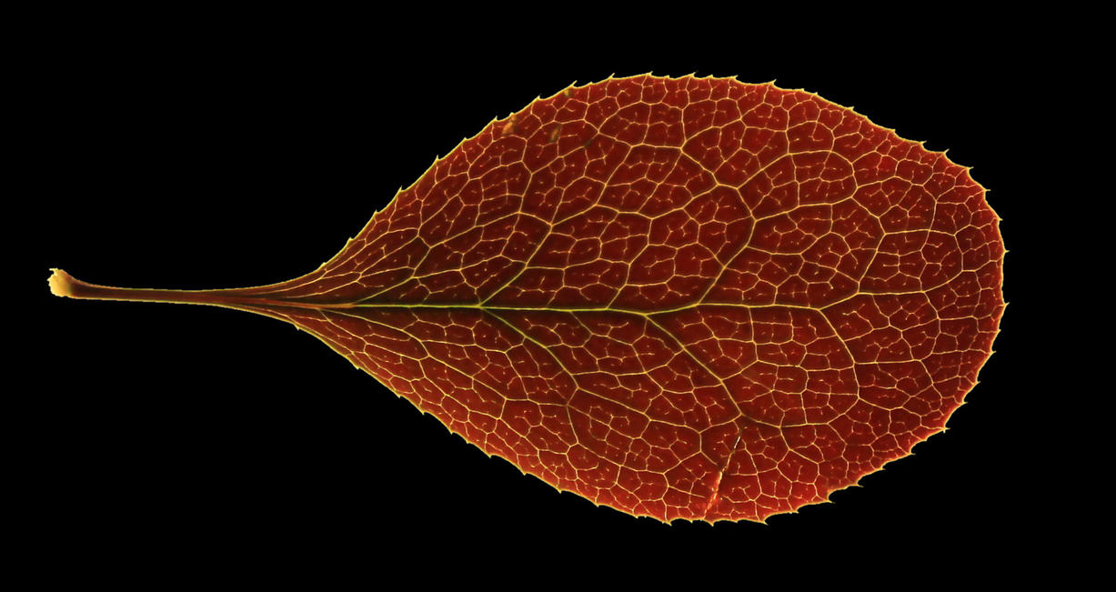 Red leaf texture by hhh316 on DeviantArt