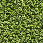 Seamless Hedge Texture