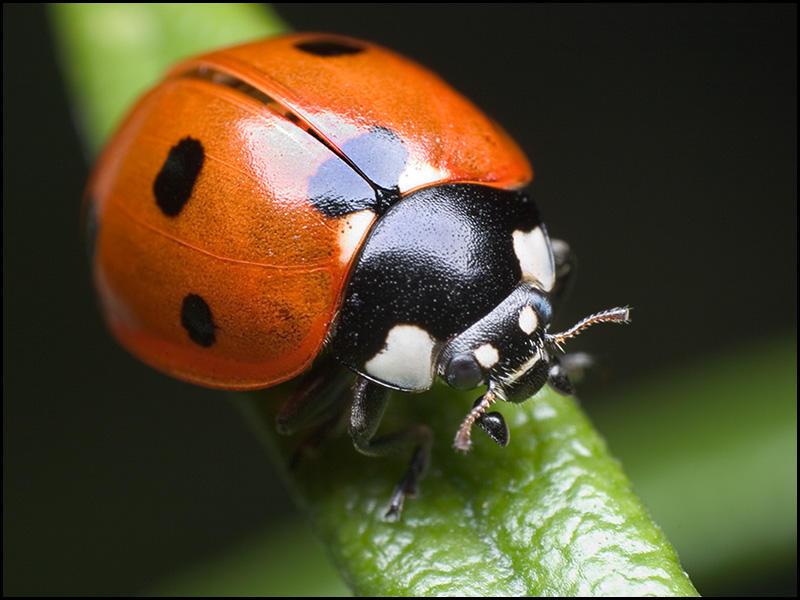 ladybug by graemo