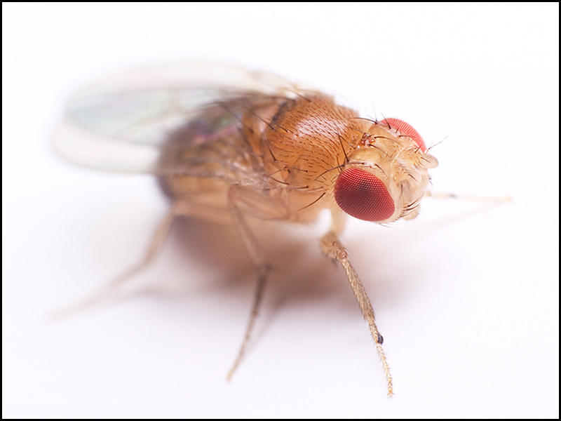a study of inheritable traits in fruit flies Uc scientists create malaria-blocking mosquitoes  working with fruit flies,  said is an amazing result for such a system that can change inheritable traits.