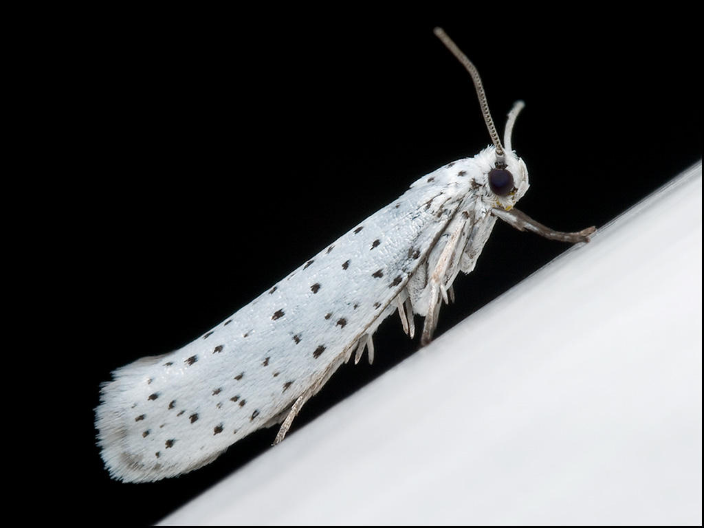 ermine moth by graemo