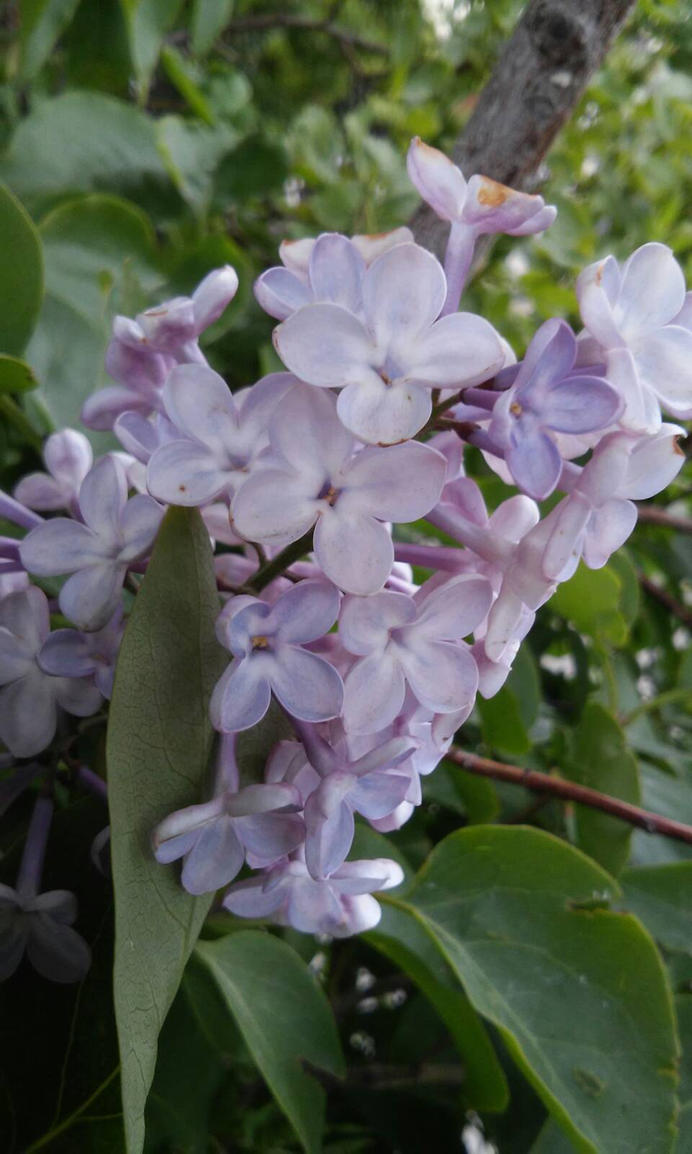 Flores lilas / Lilac flowers by KururuRyu