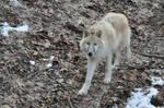 wolf stock 2
