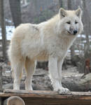 wolf stock 4