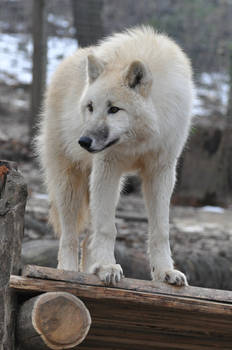 wolf stock 5