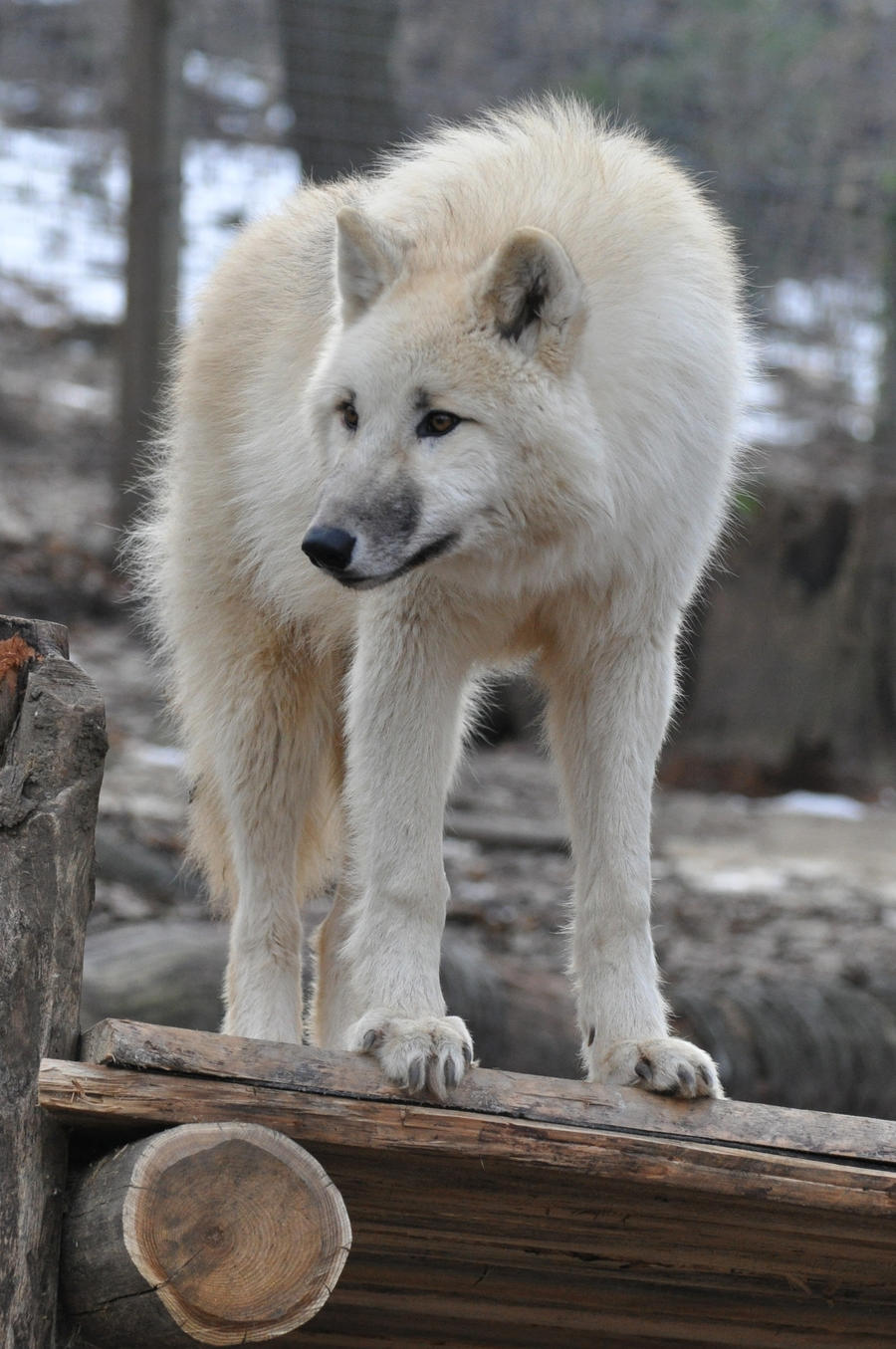 wolf stock 5 by Sikaris-Stock