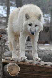 wolf stock 6 by Sikaris-Stock