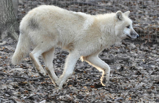 wolf stock 7