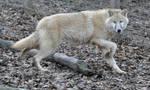 wolf stock 8
