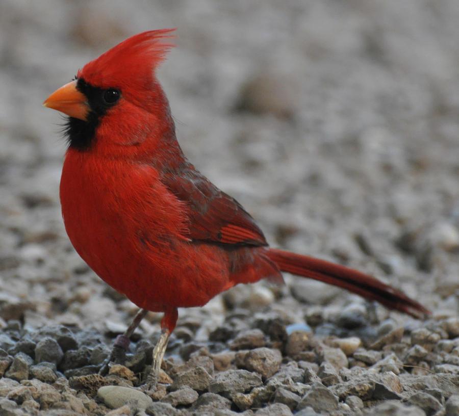 cardinal stock 2 by Sikaris-Stock
