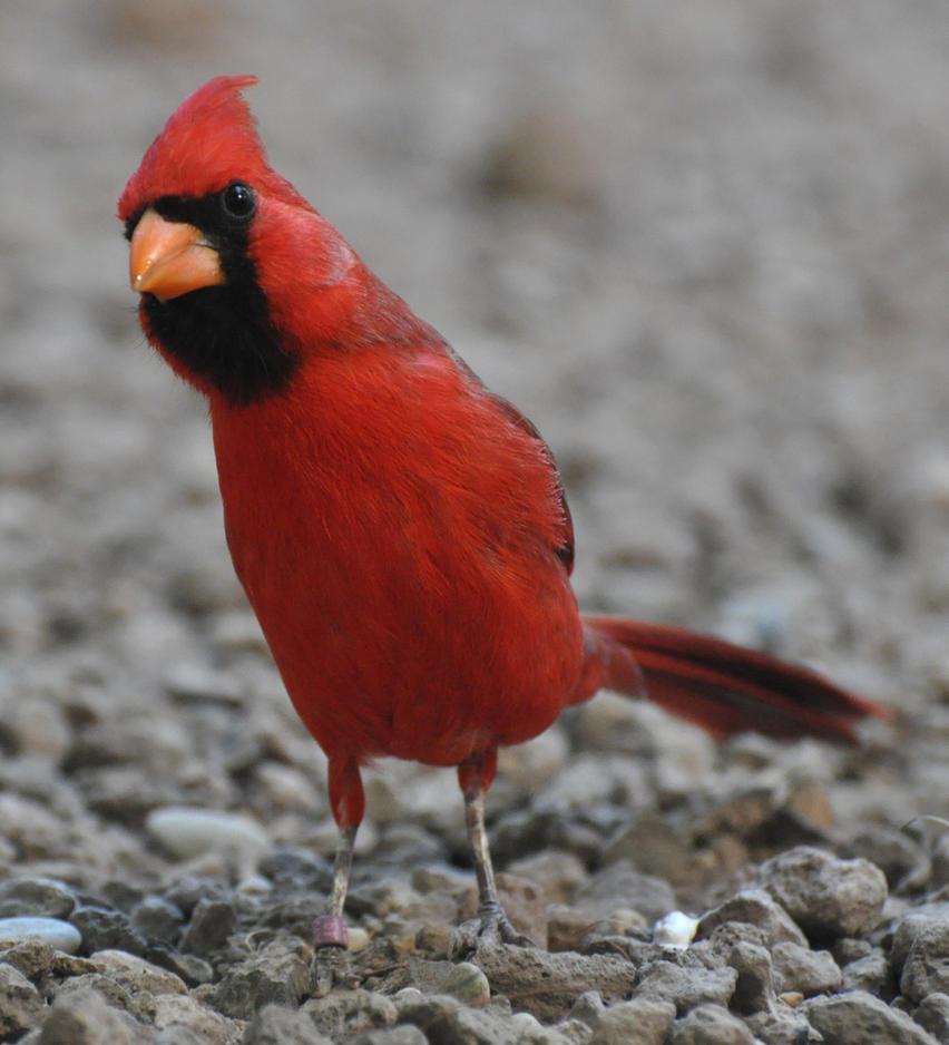 cardinal stock 3 by Sikaris-Stock