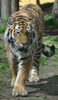tiger stock 1
