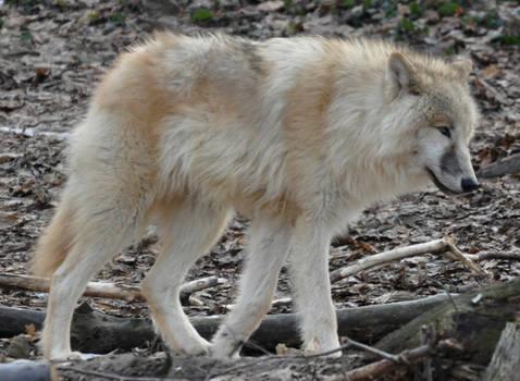 wolf stock 10