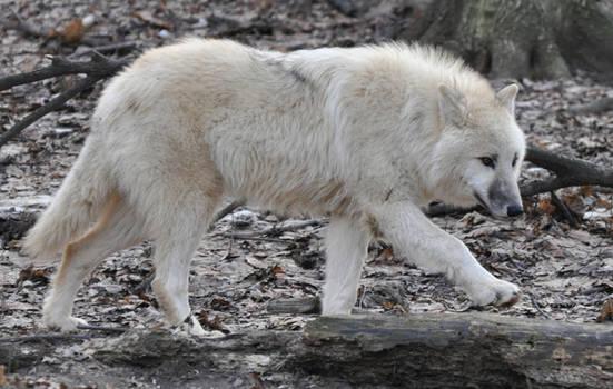 wolf stock 12