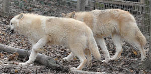 wolf stock 13