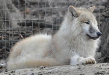 wolf stock 14