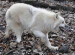 wolf stock 15