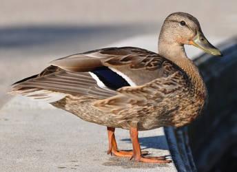 duck stock 5
