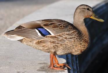 duck stock 6