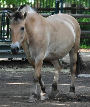 horse stock 5 Fjord Horse