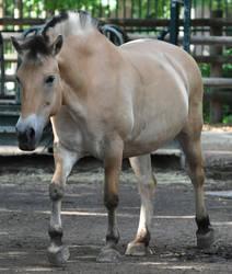 horse stock 6 Fjord Horse