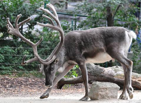 reindeer stock 1