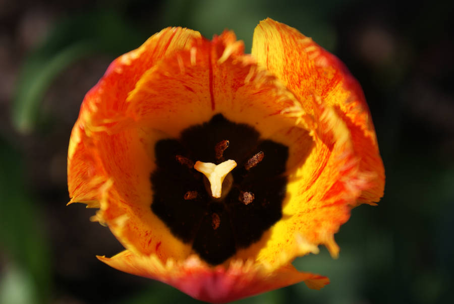 Tulipan by LyMusica