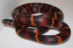 Hybrid Snake by RioIriri