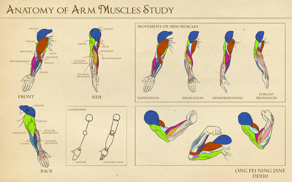 Anatomy of Arm Muscles Study by janegreentea on DeviantArt