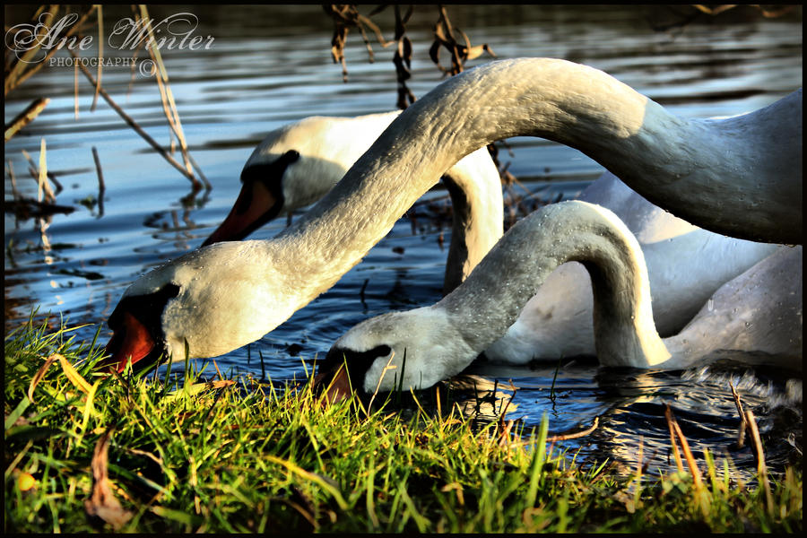 Swans by neith13